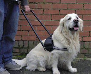 Blindenhund mit Geschirr.