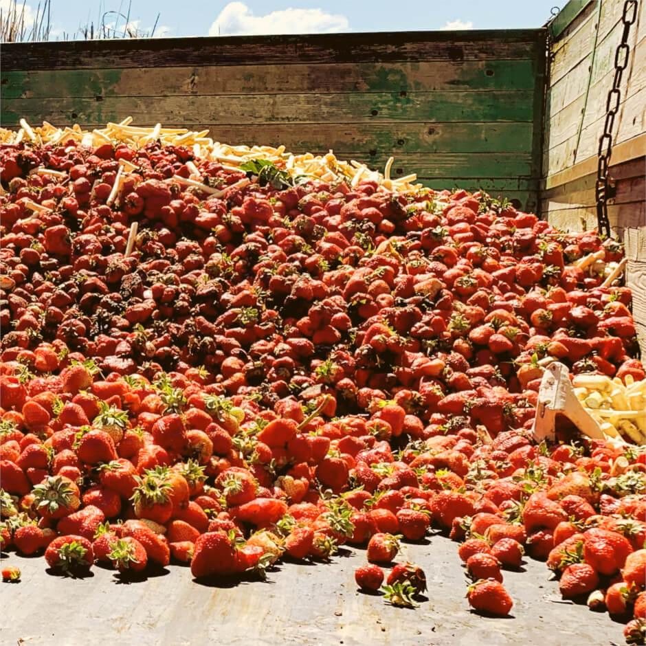 Aus der Norm fallende und schlechte Erdbeeren auf Ladefläche eines Lastkraftwagens gesammelt